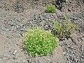 Starr-050525-1884-Perityle emoryi-habitat-Gravel pit-Kahoolawe (24762004305).jpg