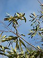 Starr-080611-8472-Olea europaea subsp cuspidata-leaves-By seaplane hangar Sand Island-Midway Atoll (24292024264).jpg