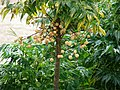 Starr-090421-6297-Melia azedarach-cv Floribunda fruit-Pukalani-Maui (24321832404).jpg