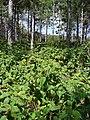 Starr-090526-8549-Clidemia hirta-habit in slash pine plantation-West Poelua West Maui-Maui (24930668906).jpg