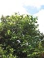 Starr-090617-0894-Sandoricum koetjape-habit-Ulumalu Haiku-Maui (24597373389).jpg
