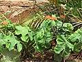 Starr-090806-3863-Jatropha podagrica-flowering habit-Wailuku-Maui (24971439205).jpg