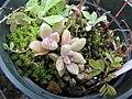 Starr-110215-1083-Unknown crassulaceae-habit-KiHana Nursery Kihei-Maui (24448498773).jpg