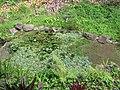 Starr-110307-2039-Pistia stratiotes-habit in koi pond-Kula Botanical Garden-Maui (24781858050).jpg