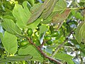 Starr-110331-4410-Ficus carica-fruit and leaves-Shibuya Farm Kula-Maui (24449785214).jpg