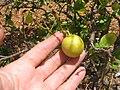 Starr-120406-9288-Citrus aurantifolia-fruit-Kawela-Molokai (24508559234).jpg