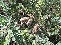 Starr-120406-9290-Origanum majorana-seeds-Kawela-Molokai (25045971511).jpg