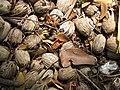 Starr-120522-5999-Areca catechu-fruit-Iao Tropical Gardens of Maui-Maui (24847356060).jpg