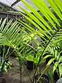 Starr-120522-6624-Euterpe oleracea-habit-Iao Tropical Gardens of Maui-Maui (25143647275).jpg
