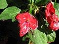 Starr-130114-1417-Impatiens walleriana-flowers with water spots-Paia-Maui (25086291102).jpg