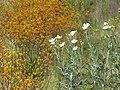 Starr-130605-4698-Argemone glauca-flowering habit with kangaroo paw-Kula-Maui (25118322921).jpg