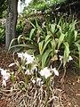 Starr-130809-2967-Amaryllis belladonna-flowering bulb-Kula-Maui (24964276580).jpg