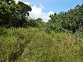 Starr-140909-1648-Hibiscus tiliaceus-habit and road-Wailua-Maui (24618846123).jpg