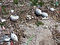 Starr-150328-0899-Coronopus didymus-unhatched eggs-Northeast Eastern Island-Midway Atoll (25269409625).jpg