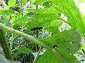Starr-160122-3524-Crassocephalum crepidioides-Secusio extensa larva feeding on leaves-Hawea Pl Olinda-Maui (26947147915).jpg