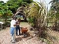 Starr-160912-0585-Saccharum officinarum-Hawaiian variety Honuaula with Kim and Tamara-Maui Nui Botanical Garden Kahului-Maui (29587389611).jpg