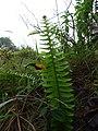 Starr-170727-0506-Nephrolepis exaltata subsp hawaiiensis-frond-Makamakaole-Maui - Flickr - Starr Environmental.jpg