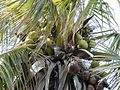Starr 010209-0269 Cocos nucifera.jpg