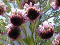 Starr 010807-0021 Argyroxiphium sandwicense subsp. macrocephalum.jpg