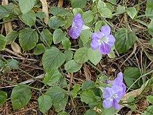 Asystasia gangetica from Kalepolepo , Maui