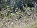 Starr 021126-0063 Rubus hawaiensis.jpg