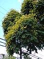 Starr 030514-0022 Peltophorum pterocarpum.jpg