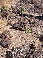 Starr 030910-0023 Hibiscus brackenridgei subsp. brackenridgei.jpg