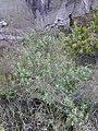 Starr 031001-0113 Chenopodium oahuense.jpg