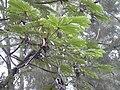 Starr 031118-0077 Cecropia obtusifolia.jpg