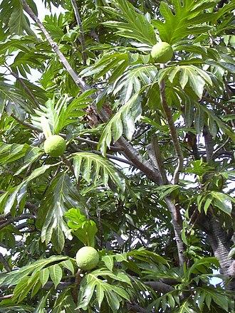 Artocarpus - Breadfruit (Artocarpus altilis)