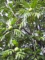 Starr 031209-0044 Artocarpus altilis.jpg