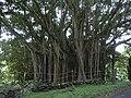 Starr 040514-0204 Ficus microcarpa.jpg