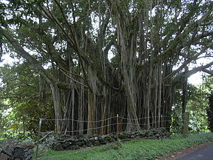 Ficus microcarpa - Ficus microcarpa with aerial roots.