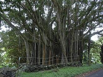 Ficus microcarpa - Image: Starr 040514 0204 Ficus microcarpa