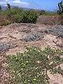 Starr 040801-0002 Tribulus cistoides.jpg