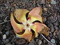 Starr 041228-2388 Hibiscus tiliaceus.jpg