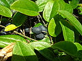 Starr 050224-4433 Passiflora suberosa.jpg
