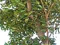 Starr 050516-1365 Cupaniopsis anacardioides.jpg