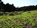 Starr 050924-7858 Jacquemontia ovalifolia subsp. sandwicensis.jpg