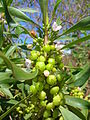Starr 060305-6528 Myoporum sandwicense.jpg