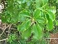 Starr 060814-8566 Schefflera arboricola.jpg