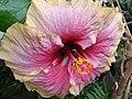 Starr 060928-0503 Hibiscus rosa-sinensis.jpg