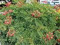 Starr 061111-1541 Caesalpinia pulcherrima.jpg