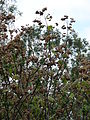Starr 070308-5391 Montanoa hibiscifolia.jpg