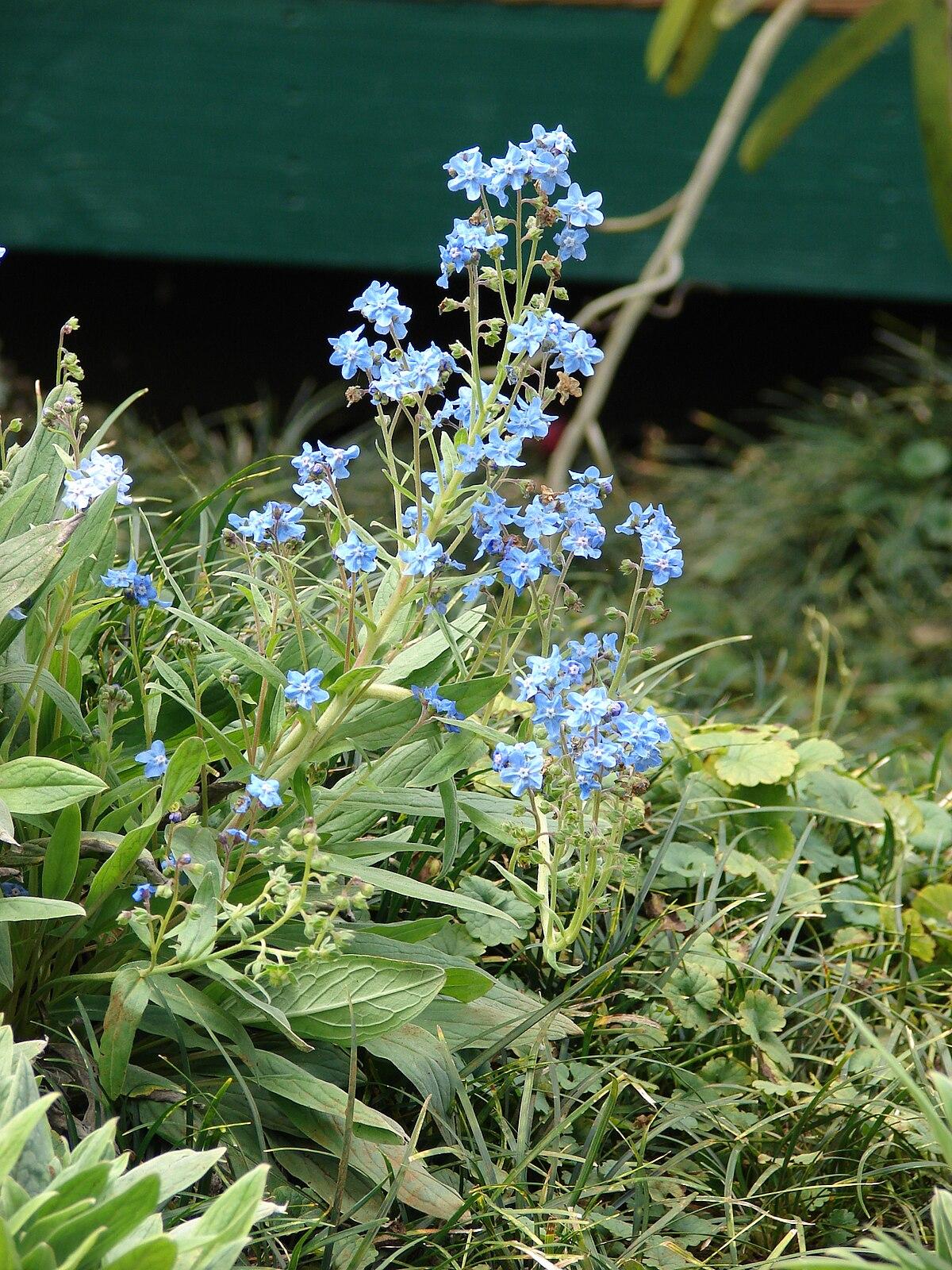Cynoglossum amabile - Wikispecies