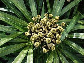 <i>Osmoxylon</i> genus of plants