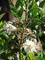 Starr 070525-7180 Myrtus communis.jpg