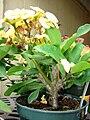Starr 070906-8728 Euphorbia milii.jpg