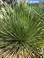 Starr 071024-0206 Dasylirion wheeleri.jpg