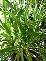 Starr 080117-1616 Agapanthus praecox subsp. orientalis.jpg